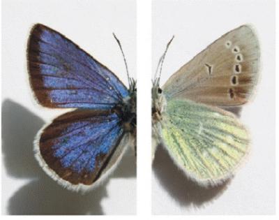Albulina metallica  wings