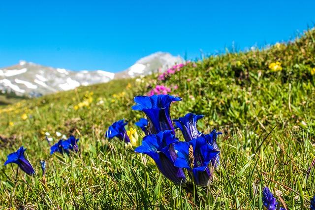 Alm Alpine Plant Gentian Alpine Flower Flower